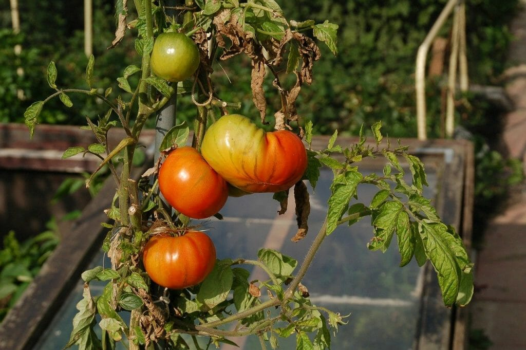 Tomatoes in an allotment
